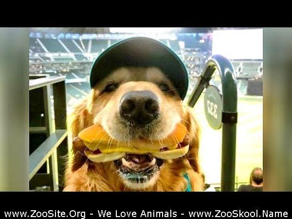 191909768 0115 fun funniest golden retrievers and much more   laughing guaranteed - Funniest Golden Retrievers And Much More - Laughing Guaranteed!