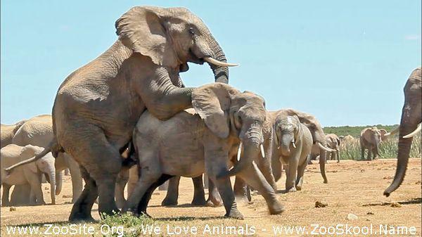 191909863 0123 fun mating elephants - Mating Elephants