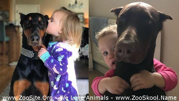 191910041 0145 fun good dogs doberman and kids have fun time together   cute babies and pe - Good Dogs Doberman And Kids Have Fun Time Together - Cute Babies And Pets Moments